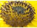 14-Coeur de soleil