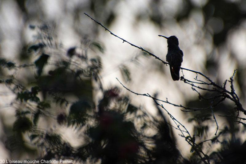 L'oiseau mouche