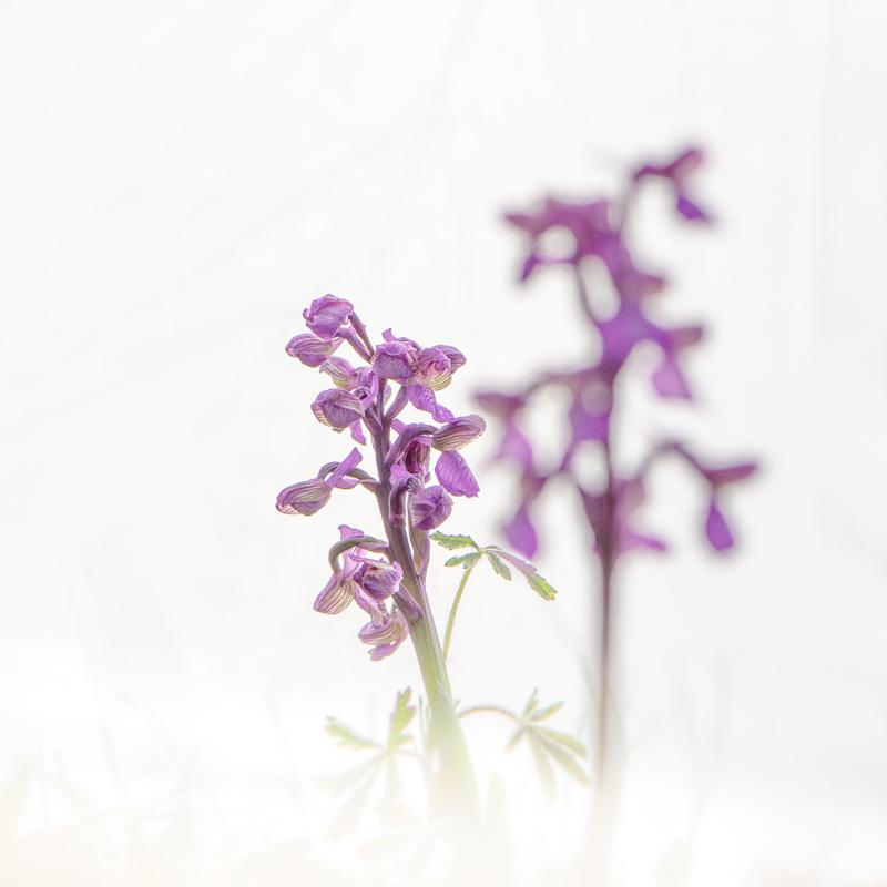JM-Vivin-Orchidee
